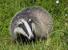 Badgers_TB_Icon