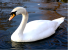 Mute Swan Icon